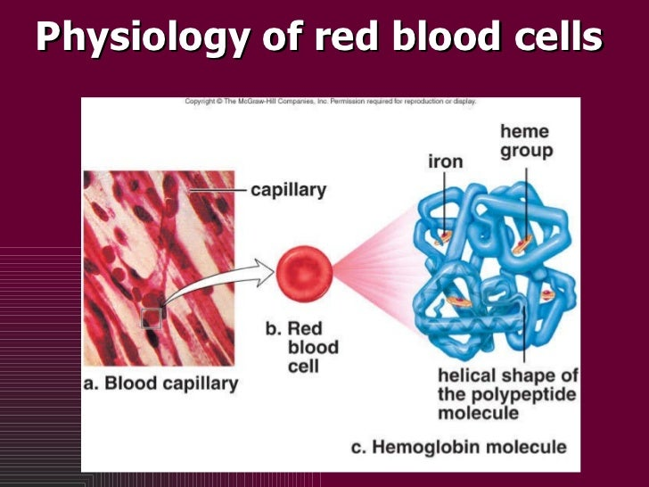 Physiology of red blood cells