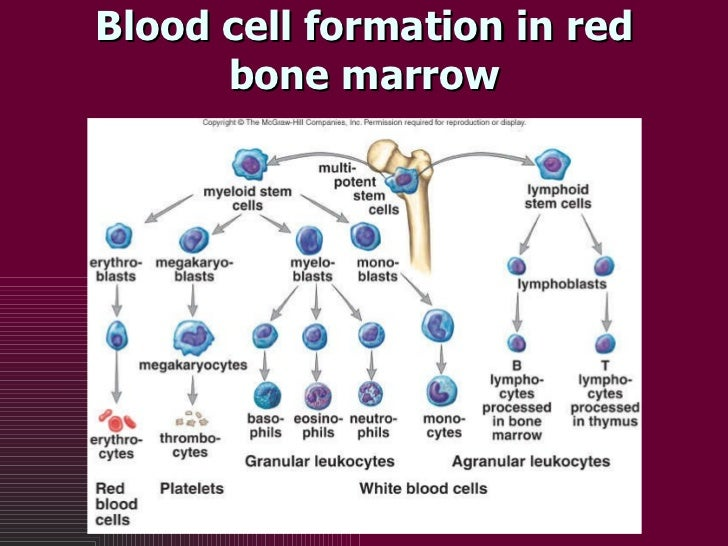 Blood cell formation in red bone marrow