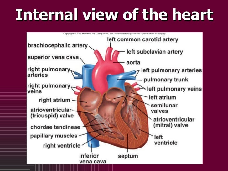 Internal view of the heart