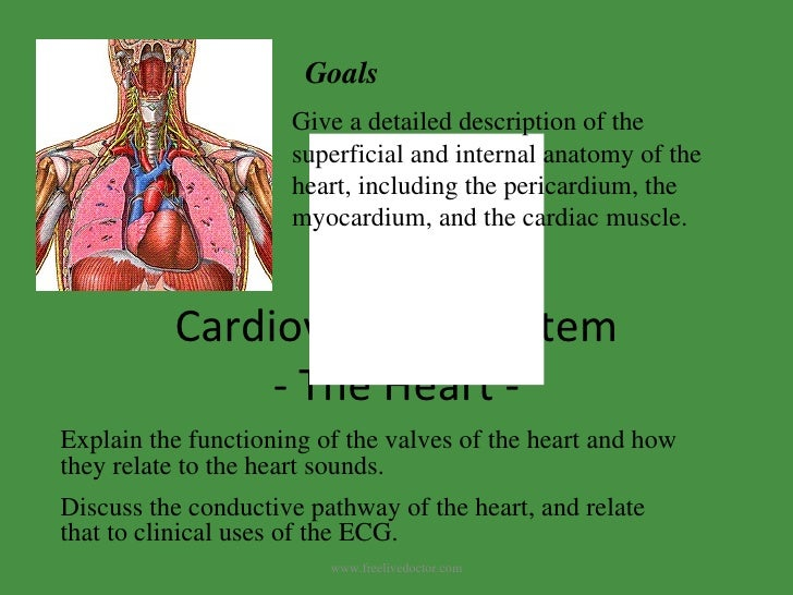 Cardiovascular System - The Heart - Give a detailed description of the superficial and internal anatomy of the heart, incl...