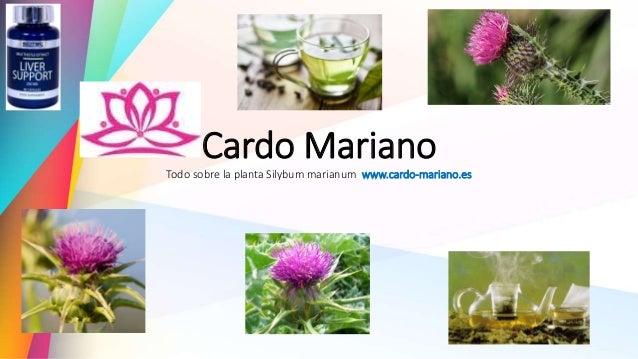 Cardo Mariano Todo sobre la planta Silybum marianum www.cardo-mariano.es