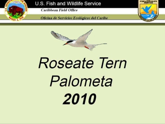 The roseate tern is a migratory coastal seabird that owes its name to the rose color of its chest and belly early in the b...