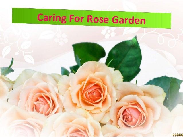 Caring For Rose GardenCaring For Rose Garden