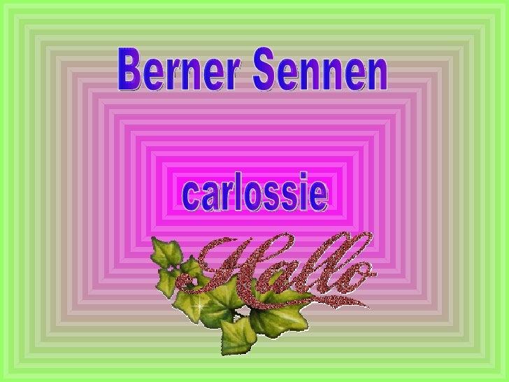 Berner Sennen  carlossie