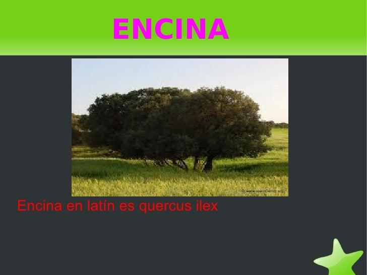 ENCINAEncina en latín es quercus ilex