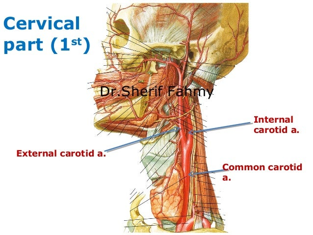 Carotid Arteries (Anatomy of the Neck)