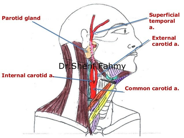 Modern Anatomy Carotid Artery Adornment - Anatomy And Physiology ...