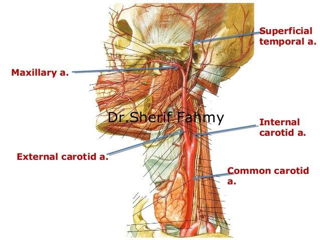 Carotid Arteries Anatomy Of The Neck