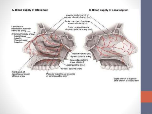 Posterior Lateral Nasal Artery 10934 | NEWSMOV  Posterior Later...