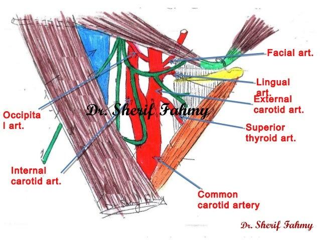carotid triangle anatomy of the neck