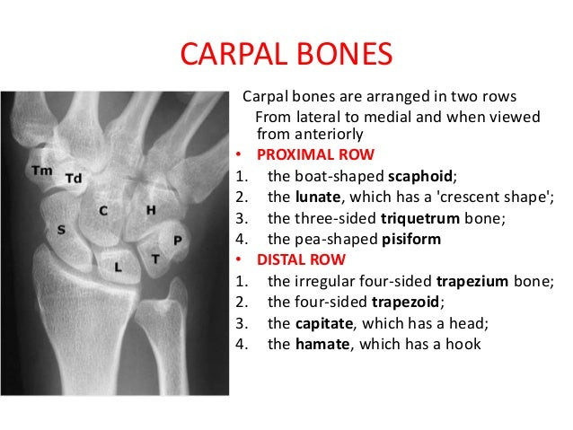 anatomy of wrist and carpal bones, Sphenoid