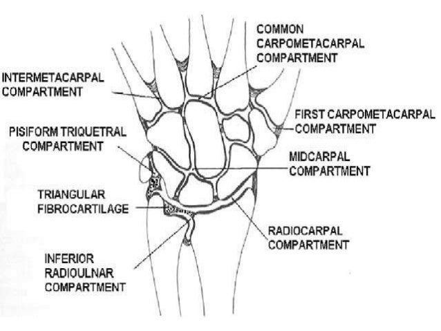 Anatomy Of Wrist And Carpal Bones