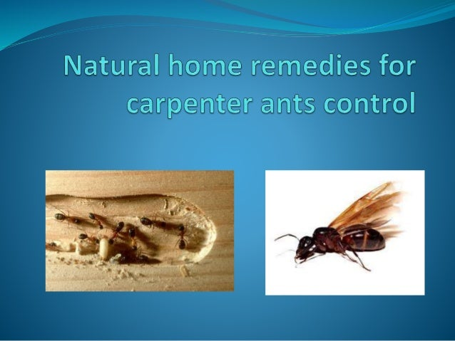 Natural Home Remedies For Carpenter Ants Control