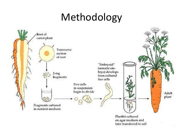 carrot regeneration Many animals may have a capability for tissue regeneration that has been turned off as the result of evolution, but it might be possible to reactivate the process.