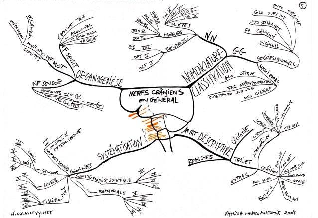 Mind Maps Cartes mentales : nerfs craniens autonome tronc developpement de l encephale