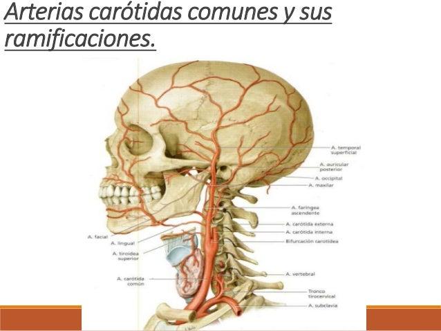 Carótida externa