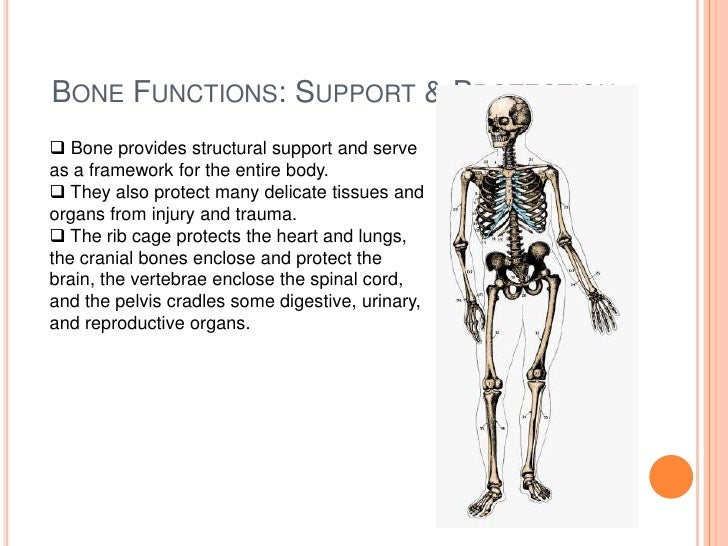 connective bone tissue Fibrous tissue are tendons, which join muscle to bones, ligaments, which bind and the protective covering of organs such as muscles some connective tissue cells are.