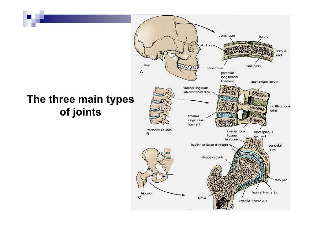 Cartilage Joints