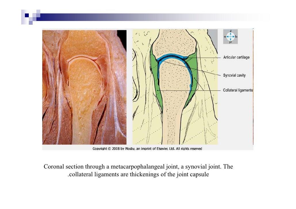 Cartilage & joints