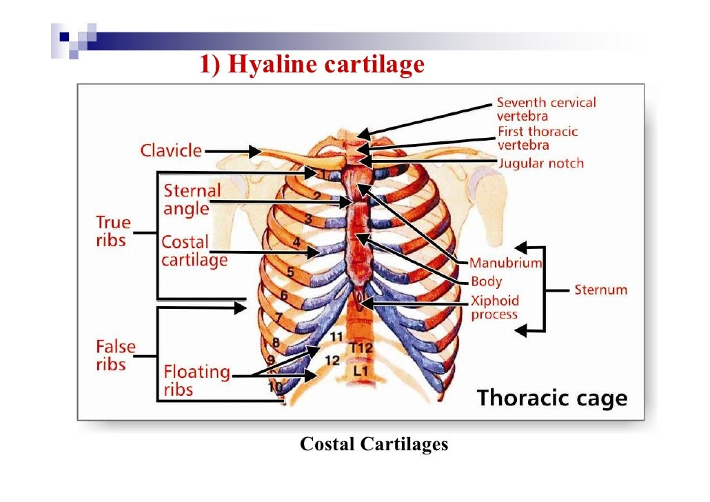 cartilage & joints, Human body
