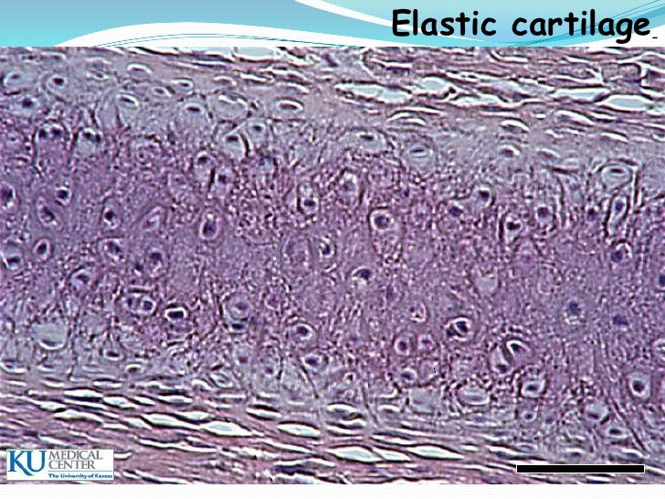 Cartilages Histology