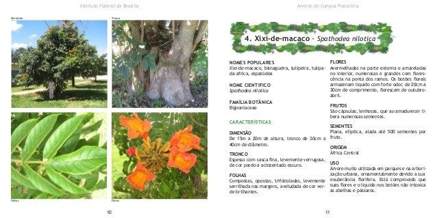 NOMES POPULARES Xixi-de-macaco, bisnagueira, tulipeira, tulipa- da-africa, espatódea NOME CIENTIFICO Spathodea nilotica FA...