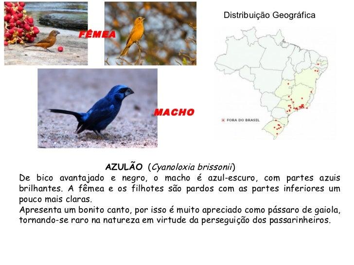 Distribuição Geográfica              FÊMEA                                MACHO                    AZULÃO (Cyanoloxia bris...