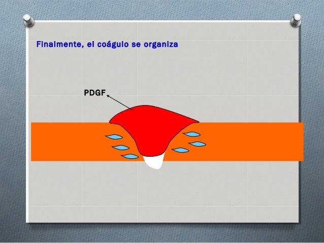 Finalmente, el coágulo se organiza           PDGF