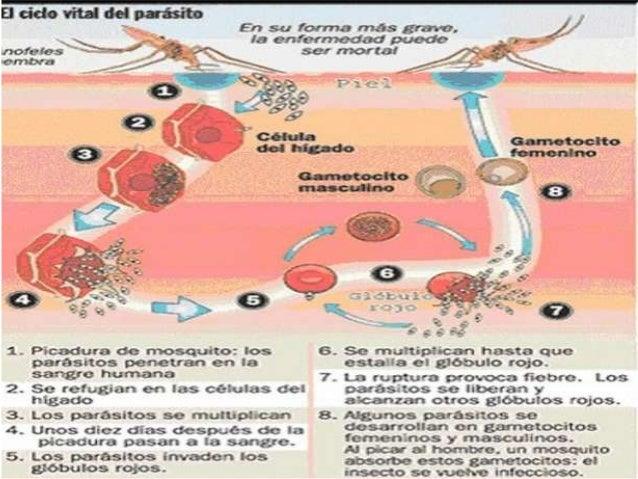 ESPECIES MAS IMORTANTES • Plasmodium vivax • Plasmodium malariae • Plasmodium falciparum • Plasmodium ovale