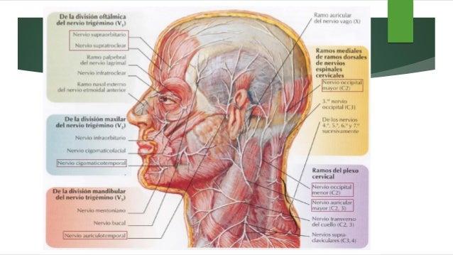 NOCICEPTORES Responden al dolor por exceso de fuerza mecánica, exceso de calor, estímulos químicos. Están unidos a fibras ...