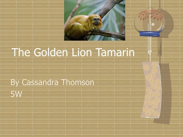 The Golden Lion Tamarin By Cassandra Thomson 5W