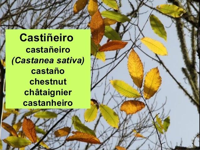 Castiñeiro castañeiro (Castanea sativa) castaño chestnut châtaignier castanheiro