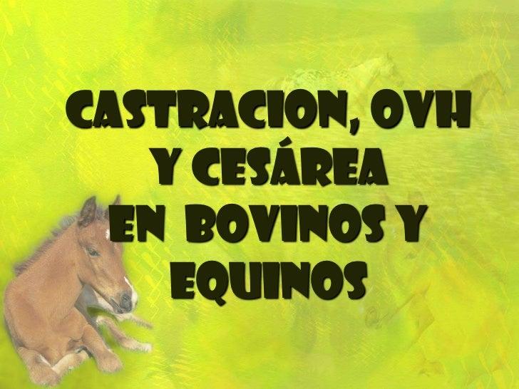CASTRACION, ovh y cesáreaen  bovinos y equinos<br />