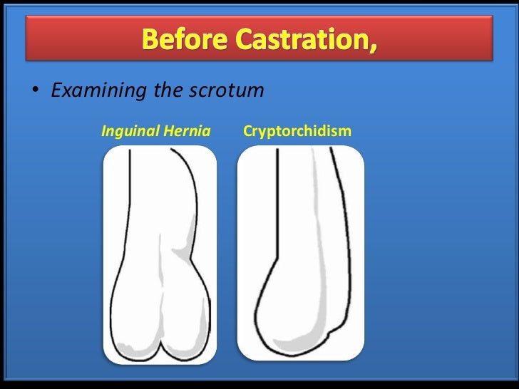 Castration Procedure in Farm Animals (Teaching PPT Material)