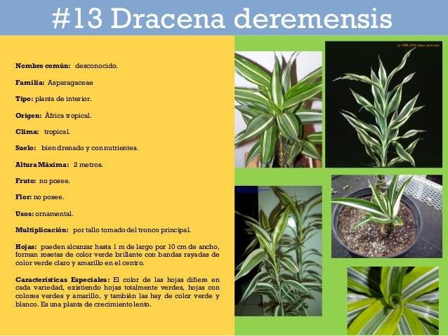 Catalogo de plantas en parque iberoamericano for Tipos de hojas ornamentales
