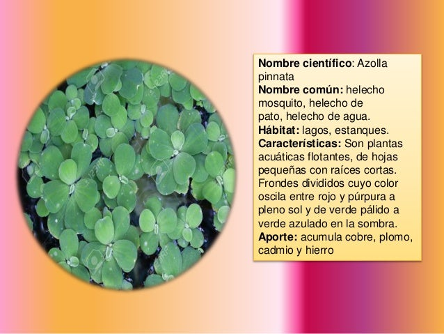 Catalogo de plantas fitorremediadoras for Planta ornamental helecho nombre cientifico