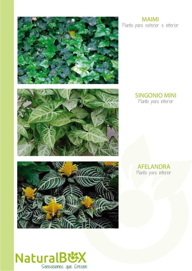 Plantas Verdes De Exterior Alocasia Oreja De Elefante Colocasia - Plantas-verdes-exterior