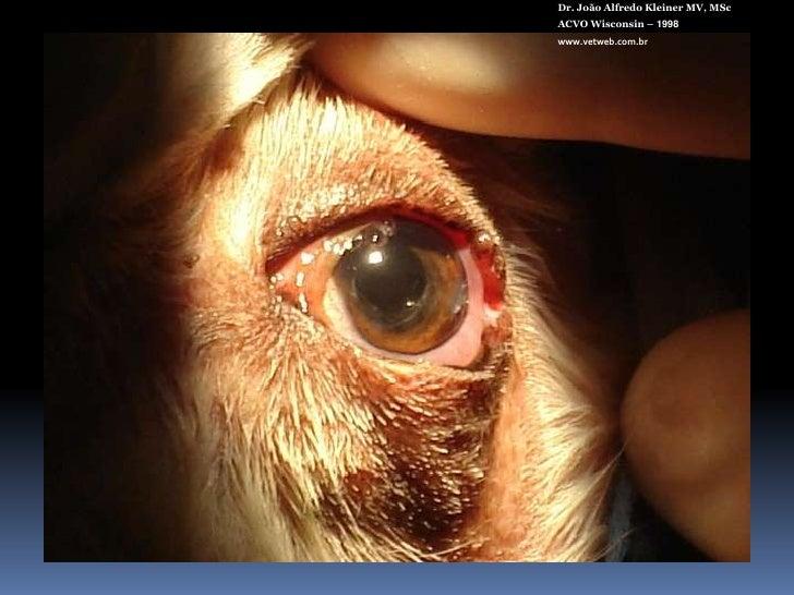 Acrivet 60 V<br />Dr. João Alfredo Kleiner MV, MSc<br />ACVO Wisconsin – 1998<br />www.vetweb.com.br<br />Biconvexa<br />P...