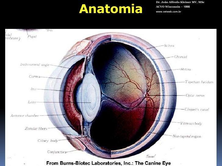 Anatomia<br />Dr. João Alfredo Kleiner MV, MSc<br />ACVO Wisconsin – 1998<br />www.vetweb.com.br<br />