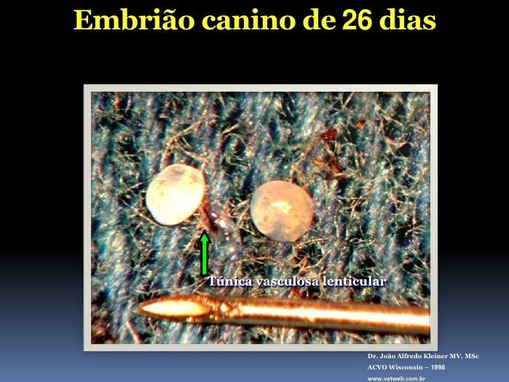 Embrião canino de 26 dias<br />Túnica vasculosa lenticular<br />Dr. João Alfredo Kleiner MV, MSc<br />ACVO Wisconsin – 199...