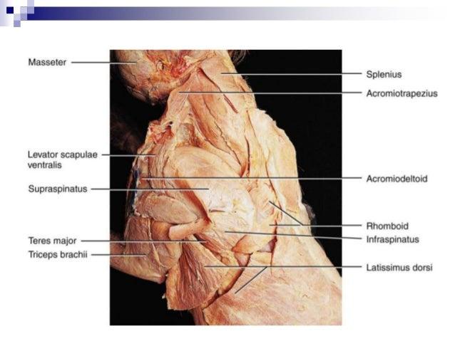 Cat Muscles Diagram Rhomboid - Find Wiring Diagram •