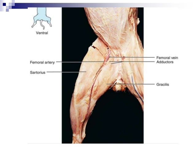 cat dissection lab_labeled_images, Muscles