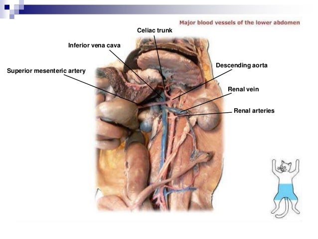 transverse jugular vein external jugular vein