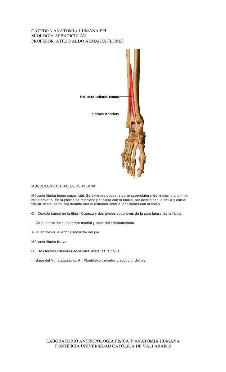Catedra miologia apendicular