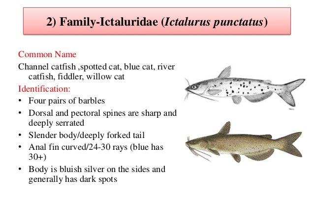 Cat fish bio  &
