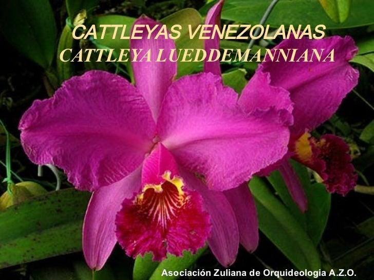 CATTLEYAS VENEZOLANAS CATTLEYA LUEDDEMANNIANA Asociación Zuliana de Orquideologia A.Z.O.