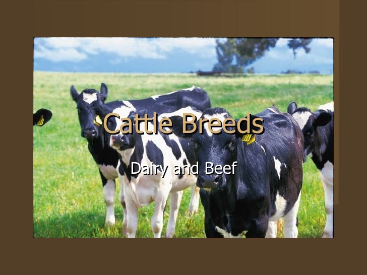 Cattle Breeds Dairy and Beef