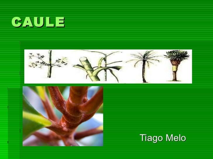 CAULE  Tiago Melo