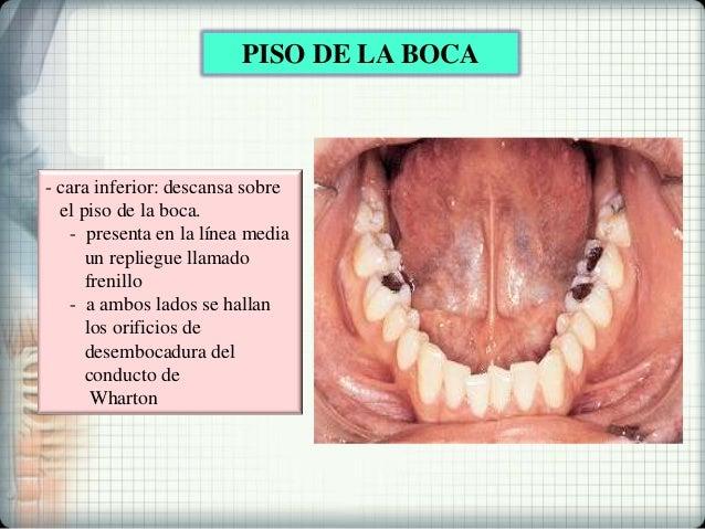 Ampliar Anatomía De La Cavidad Oral — WKDS