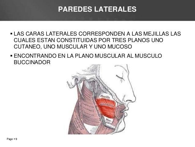 Cavidad bucal for Pared lateral de la cavidad nasal